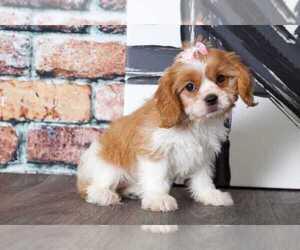 Cava-Tzu Dog for Adoption in BEL AIR, Maryland USA