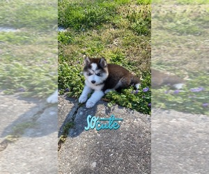 Alaskan Husky Puppy for sale in RICHMOND, VA, USA