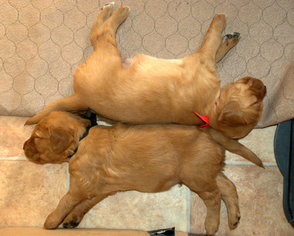 Golden Retriever Puppy For Sale in WICHITA, KS