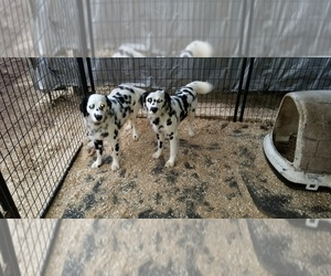 Dalmatian Puppy for sale in DUVALL, WA, USA
