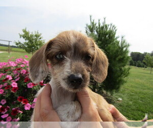 Dachshund Puppy for sale in OTTAWA HILLS, OH, USA