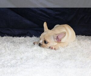 French Bulldog Puppy for sale in CLARKSVILLE, MD, USA