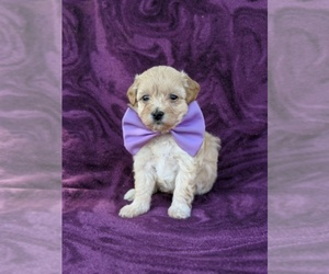 Maltipoo Puppy for sale in ATGLEN, PA, USA