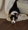Pembroke Welsh Corgi Puppy For Sale in LEBANON, TN, USA