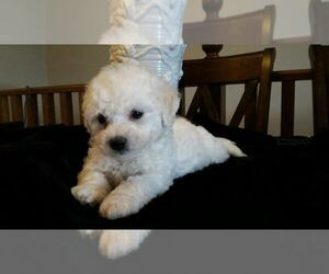 Bichon Frise Puppy for sale in CITY OF SPOKANE VALLEY, WA, USA