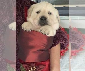 Golden Retriever Puppy for sale in GLENDALE, CA, USA