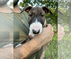 Bull Terrier Puppy for sale in METROPOLIS, IL, USA