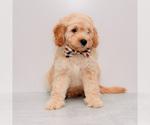 Puppy 7 Goldendoodle (Miniature)