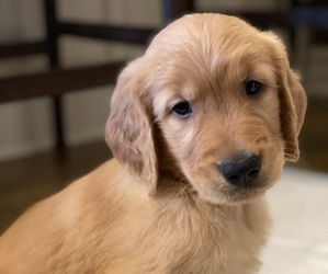 Golden Retriever Puppy for sale in CONWAY, AR, USA