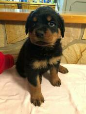 Rottweiler Puppy For Sale in QUEENSTOWN, MD, USA