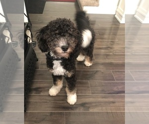 Bernedoodle Puppy for sale in IOWA CITY, IA, USA