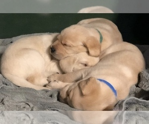 Labrador Retriever Puppy for Sale in TRENTON, Michigan USA