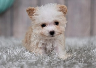 Maltipoo-Unknown Mix Puppy for sale in FULLERTON, CA, USA