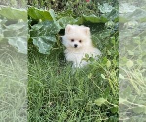 Pomeranian Puppy for sale in GLENDALE, AZ, USA