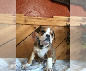 Olde English Bulldogge Puppy for Sale in CHETEK, Wisconsin USA