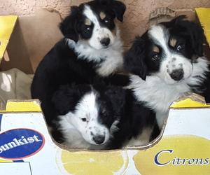 Miniature Australian Shepherd Dog for Adoption in ALBUQUERQUE, New Mexico USA