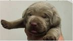 Labrador Retriever Puppy For Sale in DEVINE, Texas,
