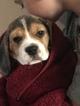 Beagle Puppy For Sale in SAN LUIS OBISPO, CA, USA