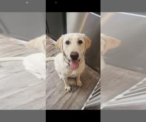 Labrador Retriever Puppy for sale in NINE MILE FALLS, WA, USA