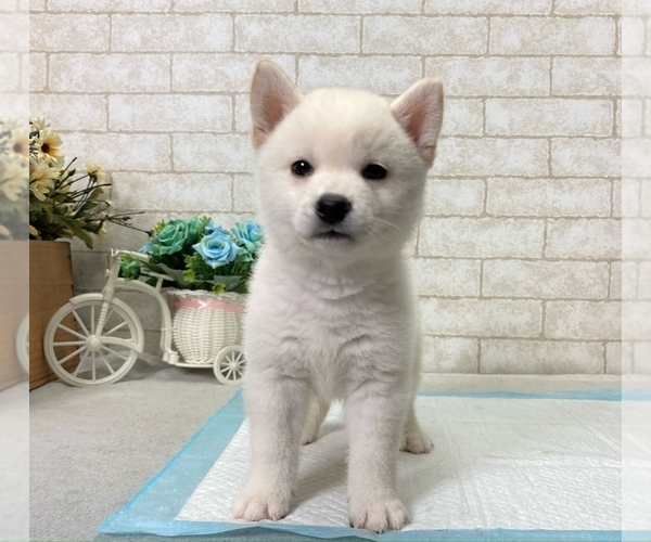 Medium Photo #8 Shiba Inu Puppy For Sale in BEVERLY HILLS, CA, USA