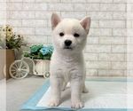 Small Photo #8 Shiba Inu Puppy For Sale in BEVERLY HILLS, CA, USA