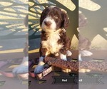 Puppy 7 Aussiedoodle