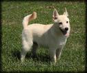 Schipperke Puppy For Sale in WAYLAND, IA, USA