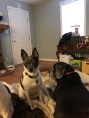 Two SweetTeddy Roosevelt Terriers for Adoption