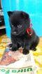 Schipperke Puppy For Sale in GRIFFITH, IN