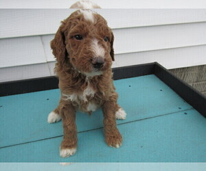 Goldendoodle Puppy for sale in SOUTH BEND, IN, USA