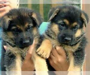 German Shepherd Dog Puppy for sale in DETROIT, MI, USA