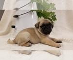Puppy 3 Pug