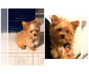 Yorkshire Terrier Puppy for sale in BLACK JACK, MO, USA