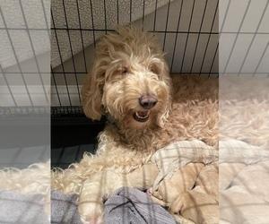 Goldendoodle Puppy for Sale in EL DORADO HILLS, California USA