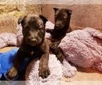 Small #4 Belgian Malinois-Dutch Shepherd Dog Mix