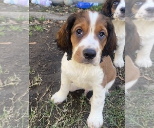 English Springer Spaniel Puppy for sale in VACAVILLE, CA, USA