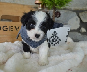 F2 Aussiedoodle Puppy for sale in HONEY BROOK, PA, USA