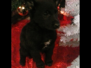 German Shepherd Dog Puppy For Sale in FORDLAND, MO