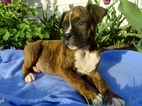 Boxer Puppy For Sale in MOUNT JOY, Pennsylvania,