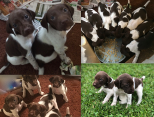 German Shorthaired Pointer Puppy For Sale in WOODSTOCK, CT, USA