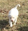 Labrador Retriever Puppy For Sale in NAPOLEON, MO, USA