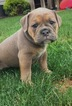 Olde English Bulldogge Puppy For Sale in DUNDEE, Ohio,