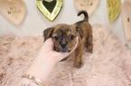 Shorkie Tzu Puppy For Sale in LAS VEGAS, NV, USA