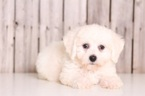 Bichon Frise Puppy For Sale in MOUNT VERNON, OH, USA
