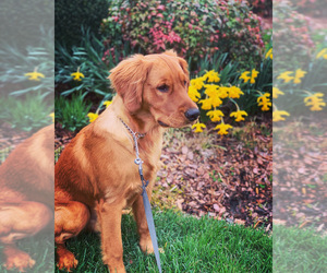 Golden Retriever Puppies For Sale Near Gastonia North Carolina