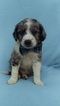 Bernedoodle Puppy For Sale in EDEN, Pennsylvania,