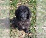 AKC Newfie Puppy
