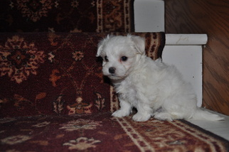 Maltese Puppy For Sale in ATWOOD, IL, USA
