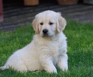 Golden Retriever Puppy for sale in SCOTTSDALE, AZ, USA