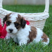 Cavachon Puppy For Sale in GAP, PA, USA
